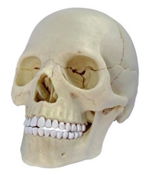Anatomie člověka - lebka